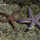 Image of northern Pacific sea star