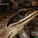 Image of Amur Brown Frog. Han-Guk-San-Gae-Gu-Ri
