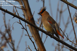 Image of Japanese Waxwing