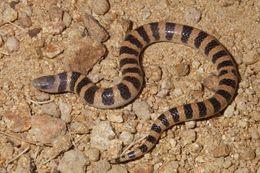 Image of Banded sand snake