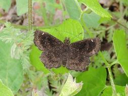 Image of <i>Staphylus hayhurstii</i>