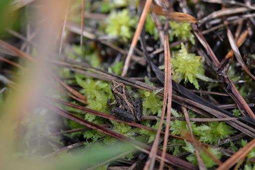 Image of <i>Acris gryllus dorsalis</i>