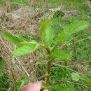 Image of <i>Scrophularia auriculata</i>