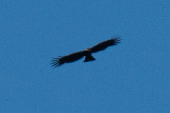 Image of Black Eagle