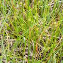 Image of <i>Carex viridula brachyrrhyncha</i>