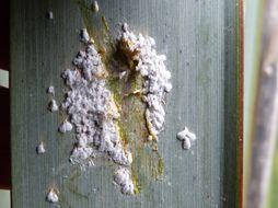 Image of <i>Poliaspis floccosa</i> Henderson 2011