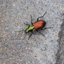 Image of six-point ground beetle