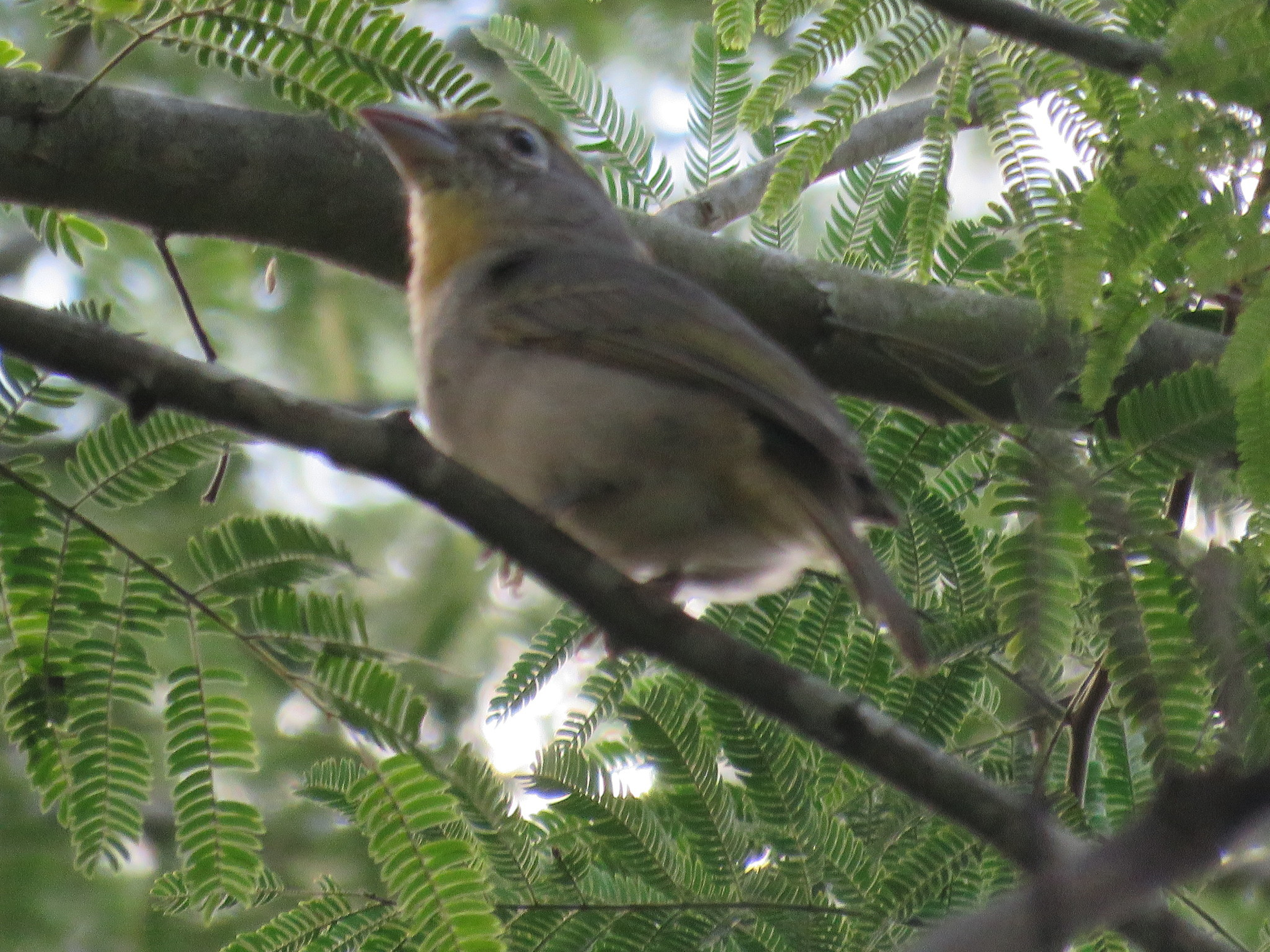 Image of Rose-throated Tanager