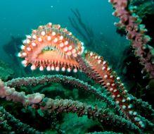 Image of Bearded Fireworm