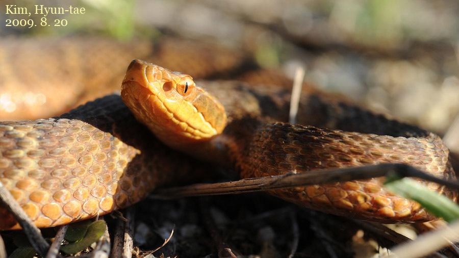 Image of Ussuri Pitviper