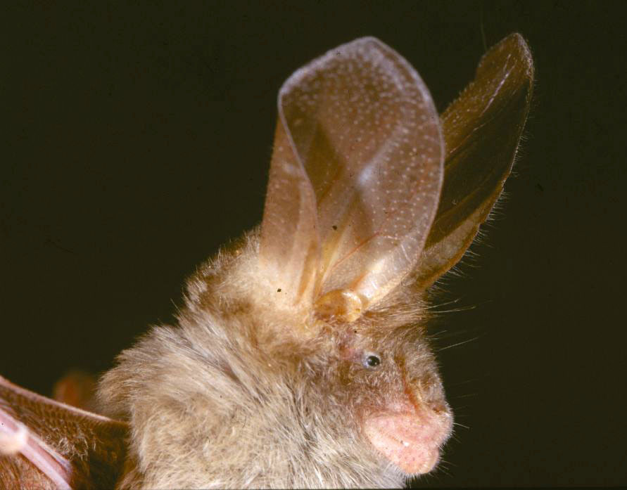 Image of Gambian Slit-faced Bat