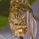 Image of <i>Kerivoula cuprosa</i> Thomas 1912