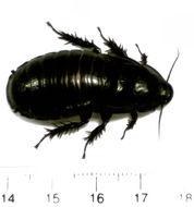 Image of <i>Panesthia cribrata</i> Saussure 1864