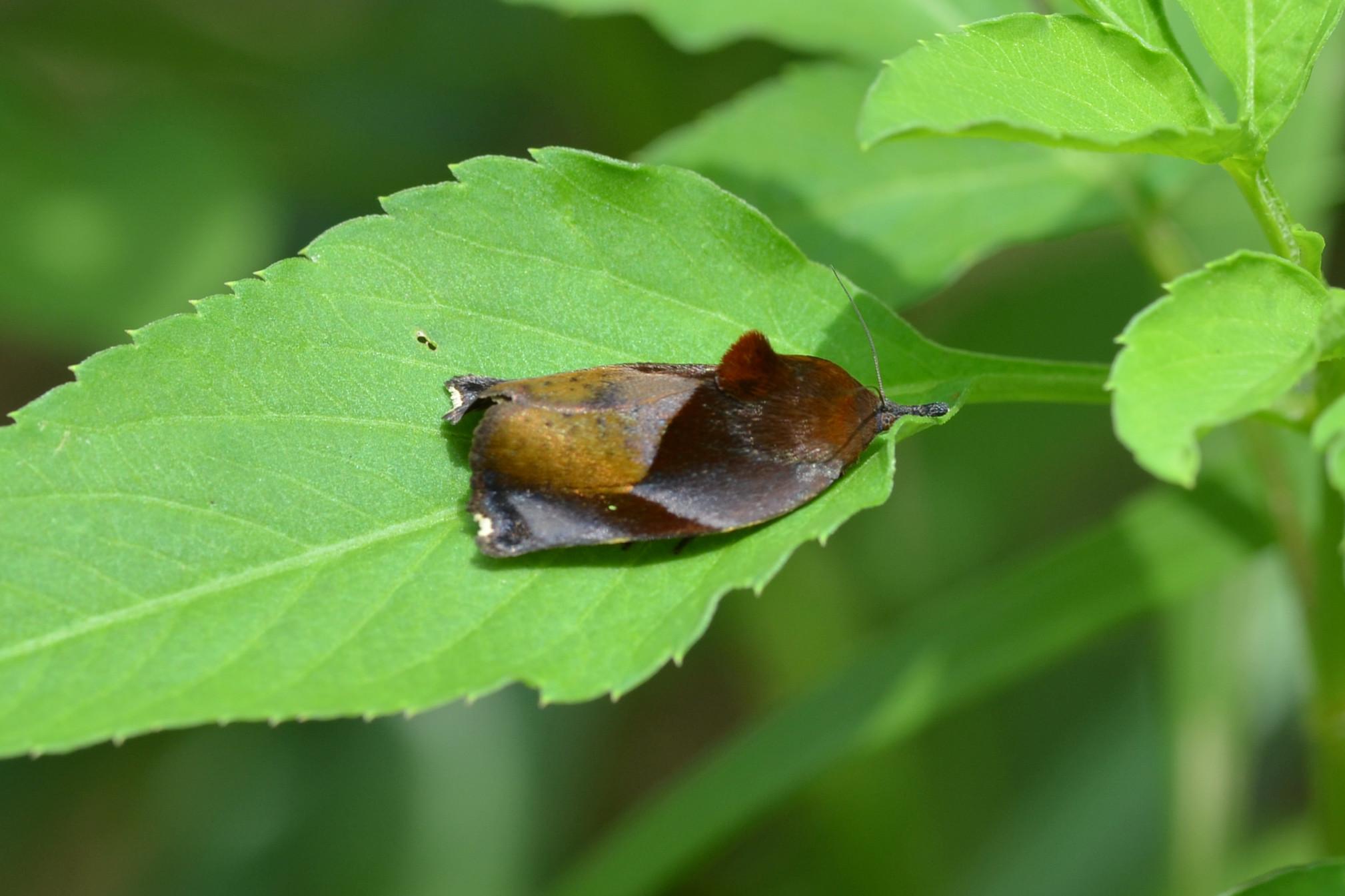 Image of <i>Hyblaea firmamentum</i> Guenée 1852