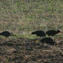 Image of Northern bald ibis