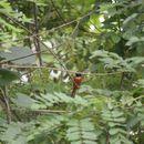 Image of Black-headed Paradise-Flycatcher