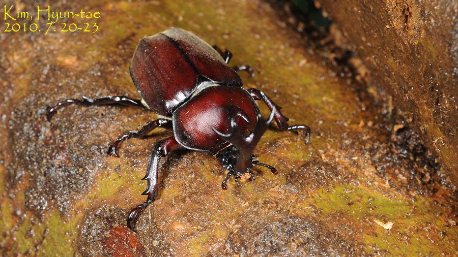 Image of Japanese rhinoceros beetle