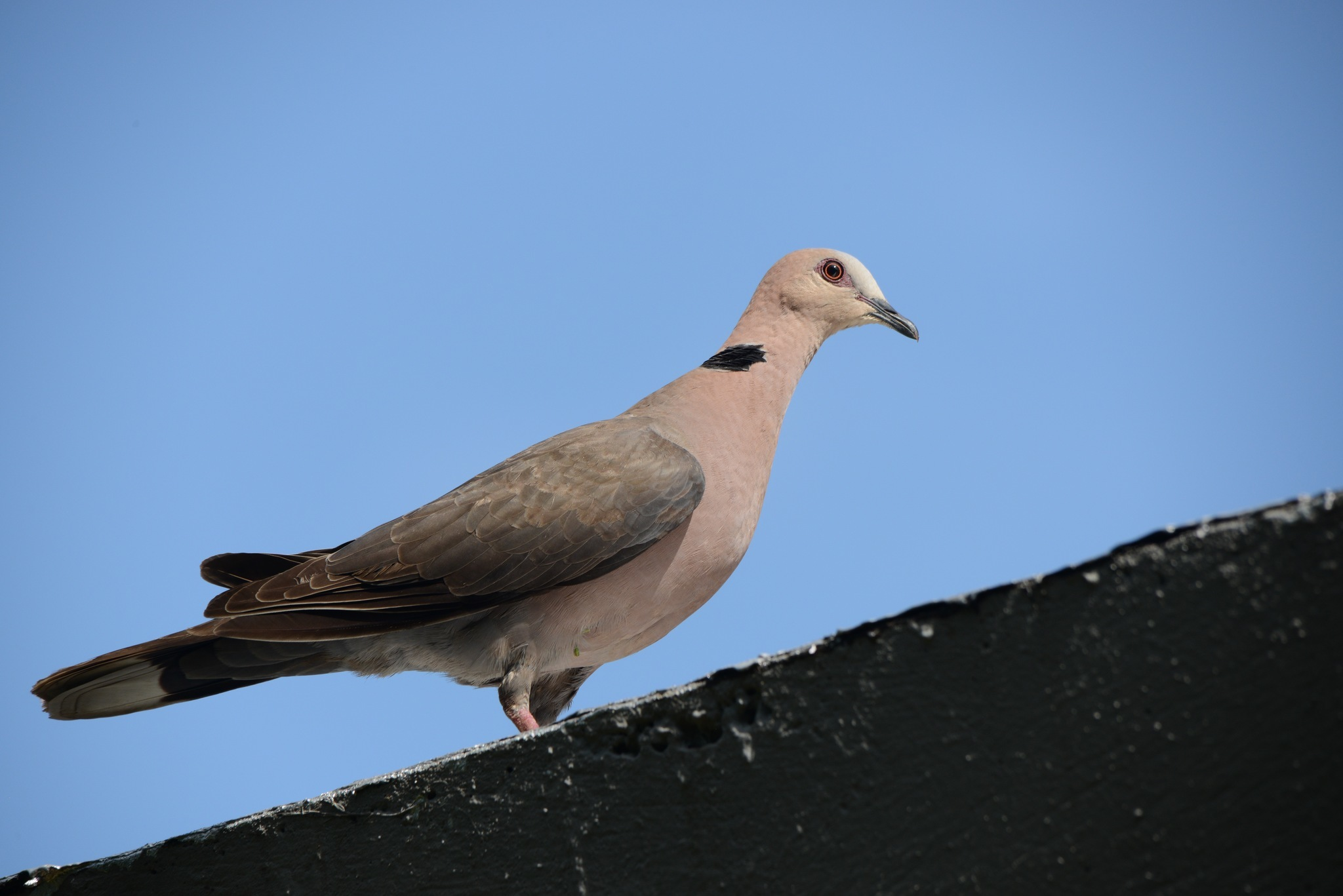 Image of Red-eyed Dove