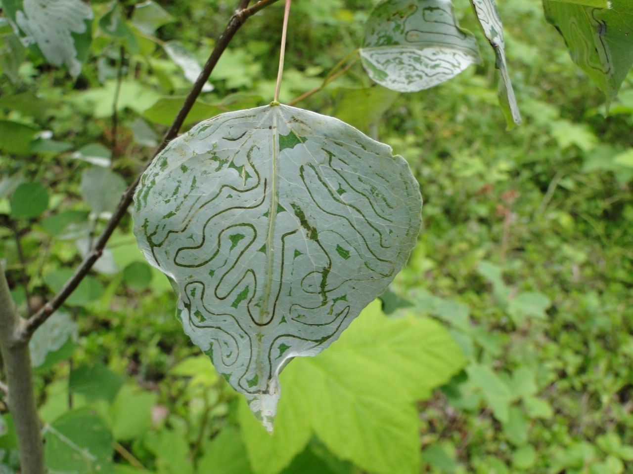 Image of Common Aspen Leaf Miner