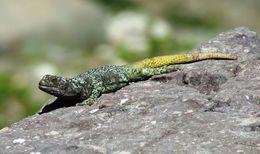 Image of <i>Phymaturus maulense</i> Nuñez, Veloso, Espejo, Veloso, Cortes & Araya 2010