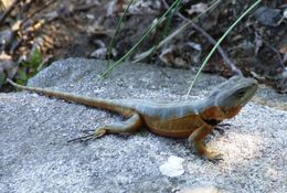 Image of <i>Pristidactylus torquatus</i> (Philippi 1861)