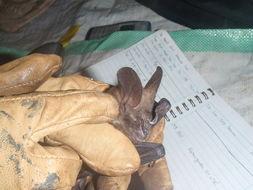 Image of large slit-faced bat