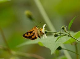 Image of <i>Acada biseriata</i>