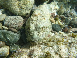 Image of Pacific Spotted Scorpionfish
