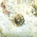 Image of Browncheek Blenny