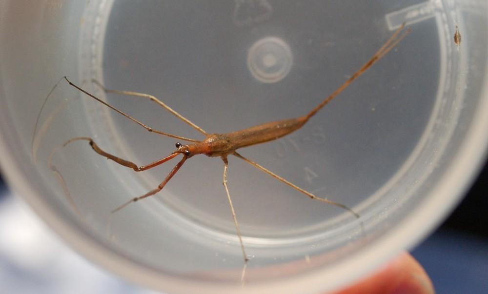 Image of Brown Waterscorpion