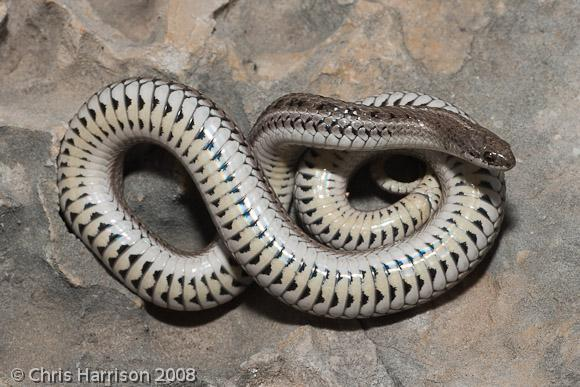 Image of Lined Snake