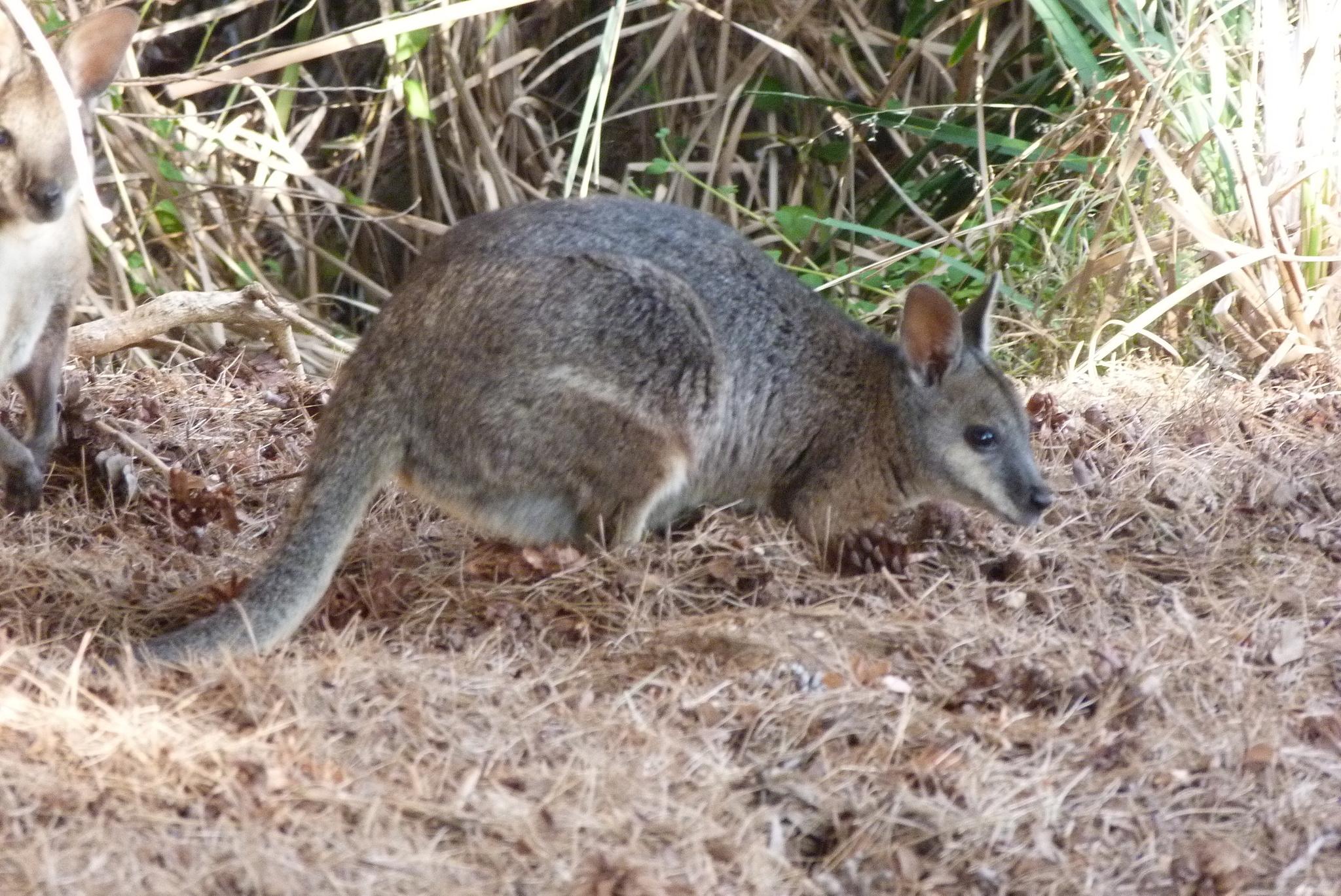 Image of Dama Wallaby