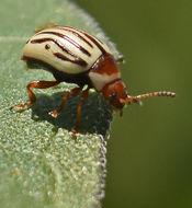 Image of Sunflower Beetle