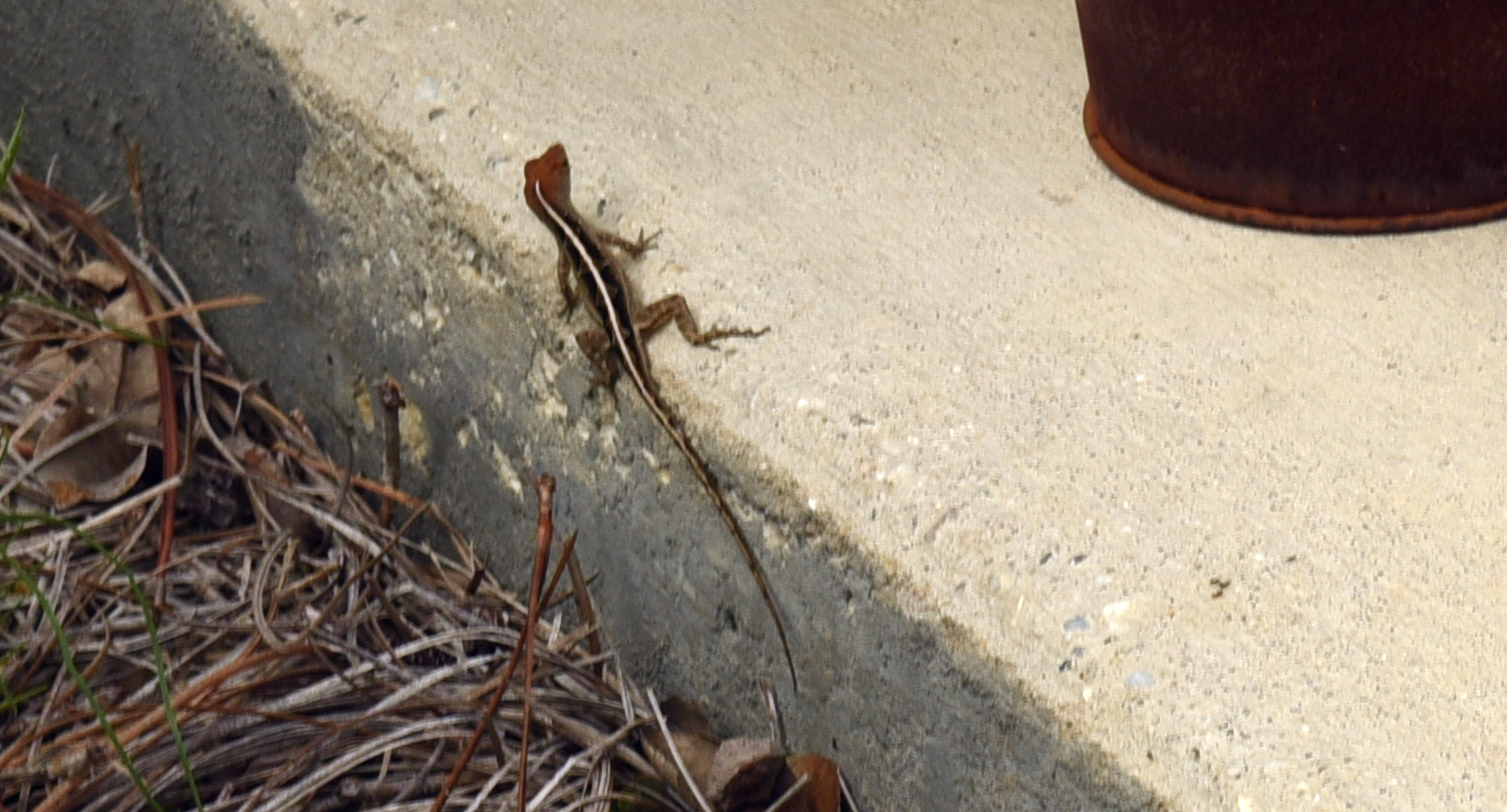 Image of brown anole