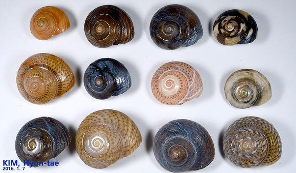 Image of <i>Umbonium costatum</i> (Kiener 1839)