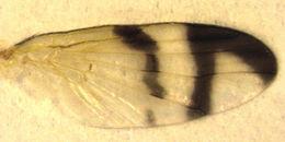 Image of <i>Urophora stylata</i> (Fabricius 1775)