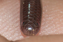 Image of Brahminy blind snake