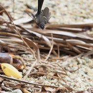 Image of <i>Rhipidura albiscapa bulgeri</i> Layard & EL 1877