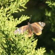 Image of <i>Vanessa atalanta</i> ssp. <i>rubria</i> (Fruhstorfer 1909)