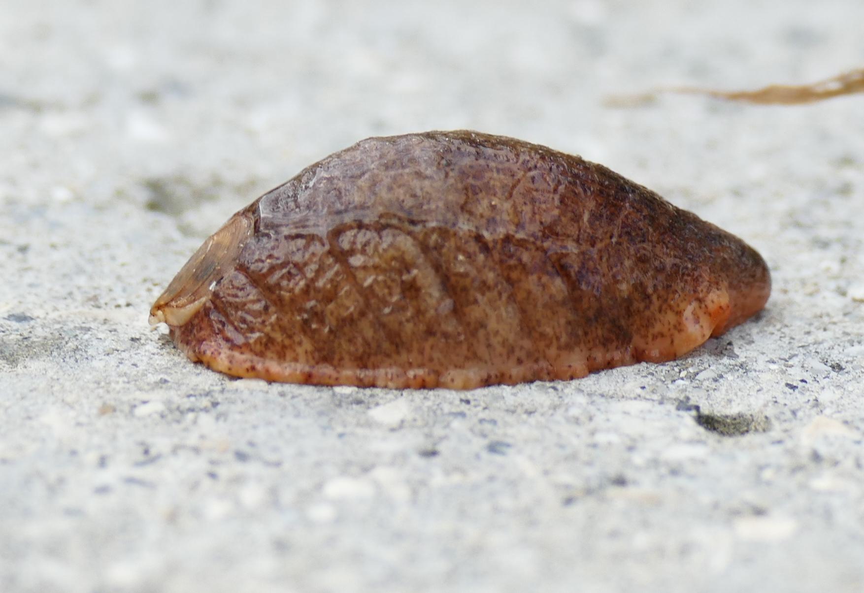 Image of <i>Testacella scutulum</i>