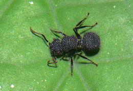 Image of <i>Echinopla melanarctos</i> Smith 1857