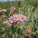 Image of <i>Tessaria absinthioides</i>