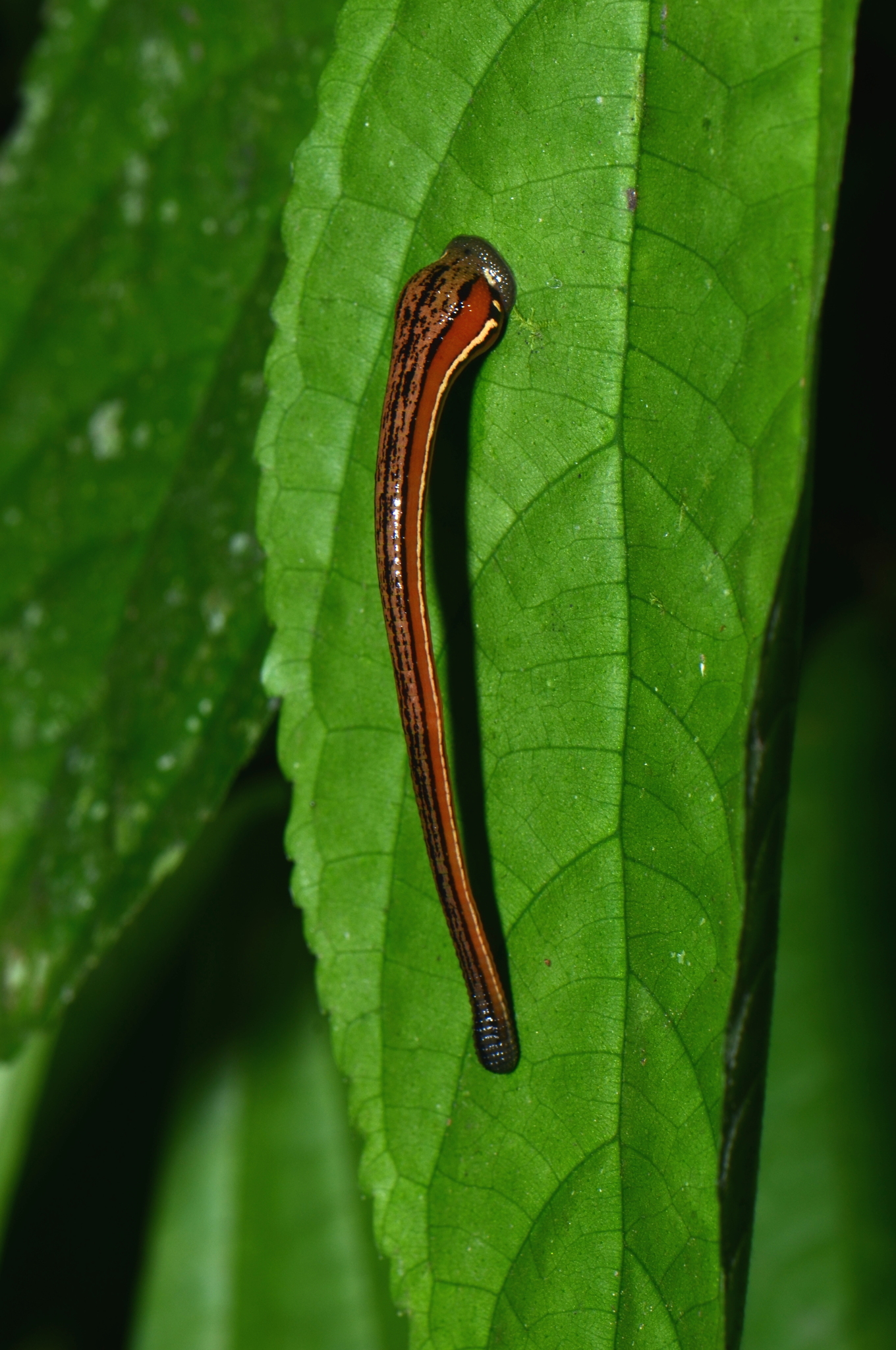 Image of Tiger Leech