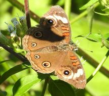 Image of <i>Junonia <i>coenia</i></i> ssp. coenia