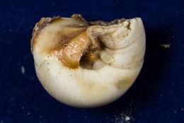 Image of <i>Neverita delessertiana</i> (Récluz 1843)