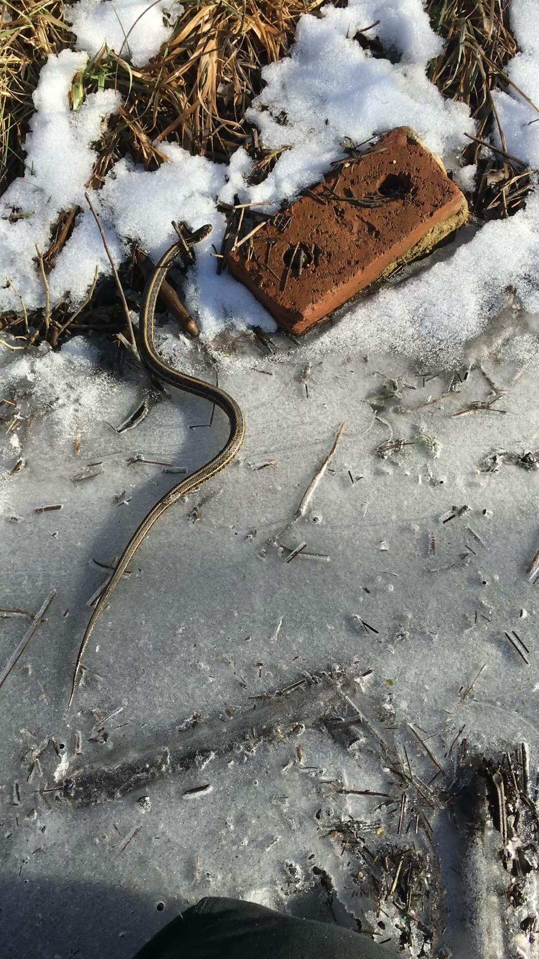 Image of Plains Garter Snake