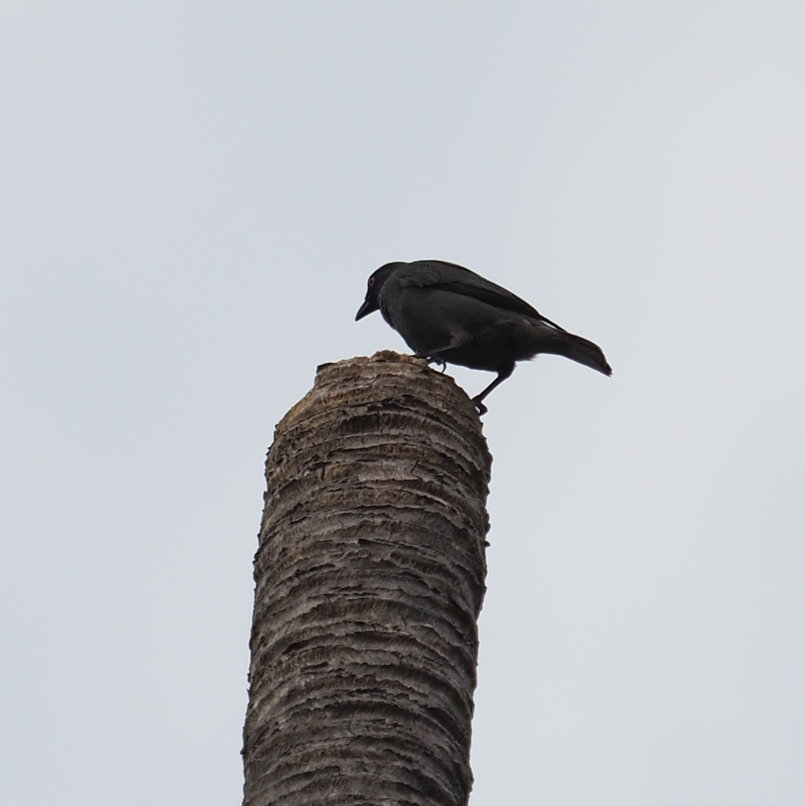 Image of Striated Starling