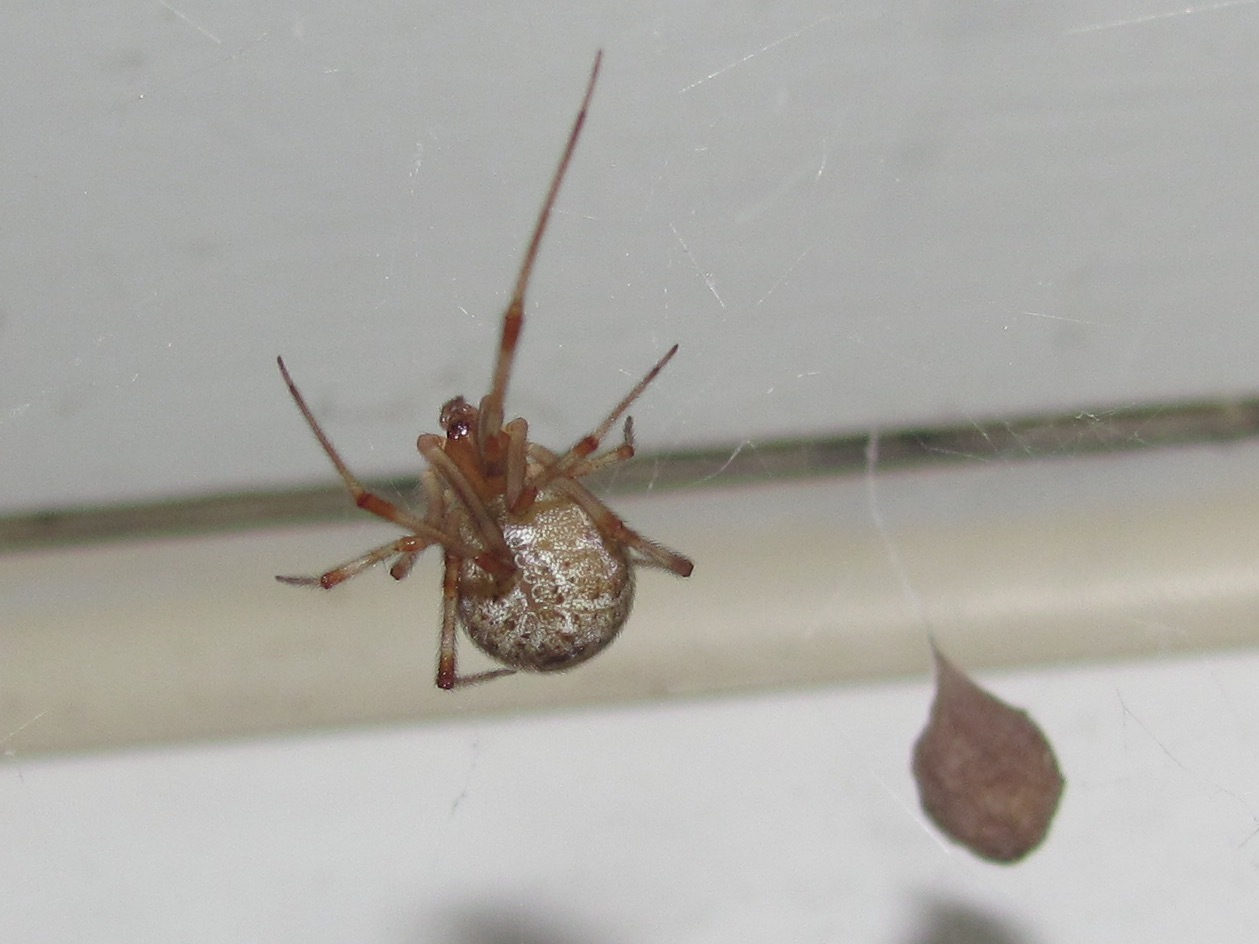 Image of Common house spider
