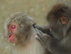 Image of Japanese Macaque