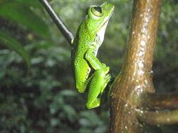 Image of Amani Forest Treefrog